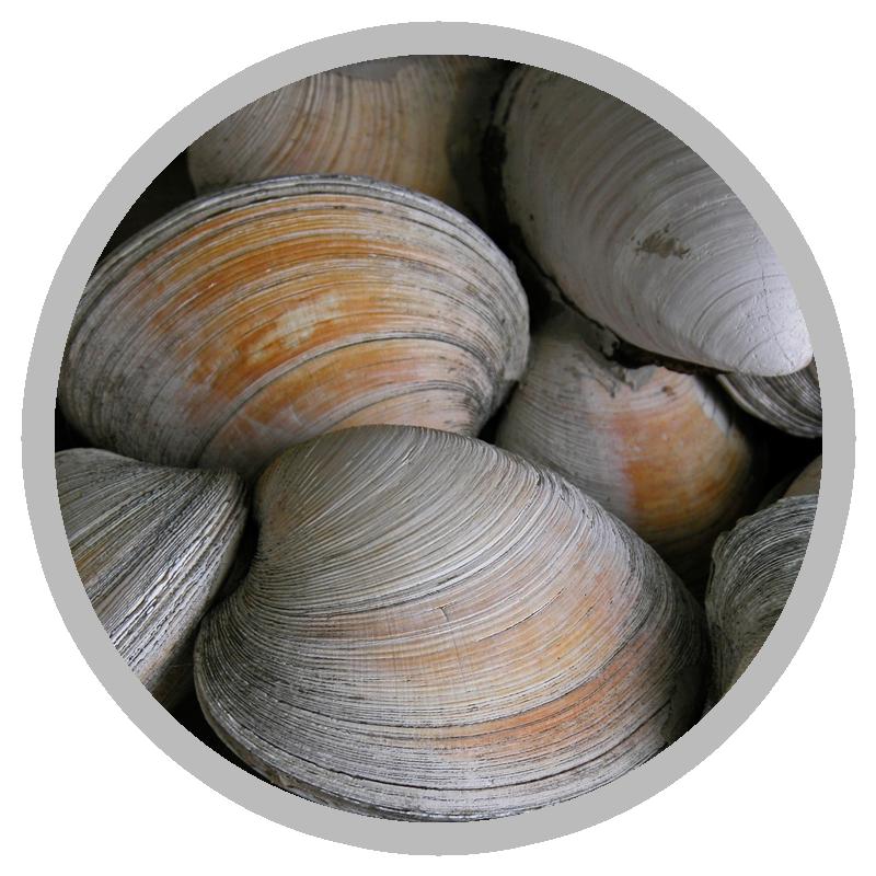 Marinove producteur de palourdes
